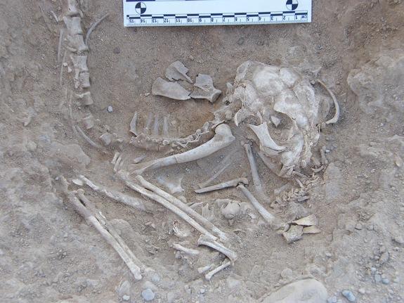 """في مقبرة """"الكوم الأحمر"""" اكتشف العلماء 6 قطط منها 2 كبيرتان و4 صغار"""