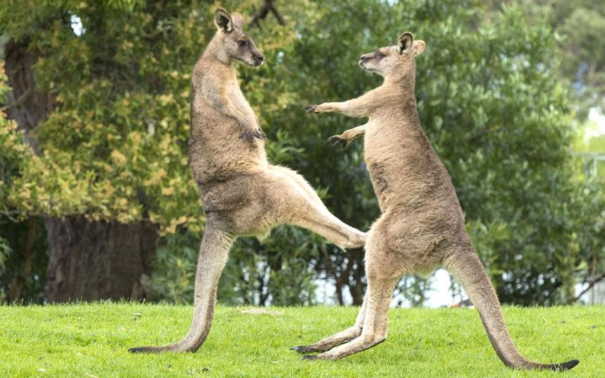 potd-kangaroo_2979104k