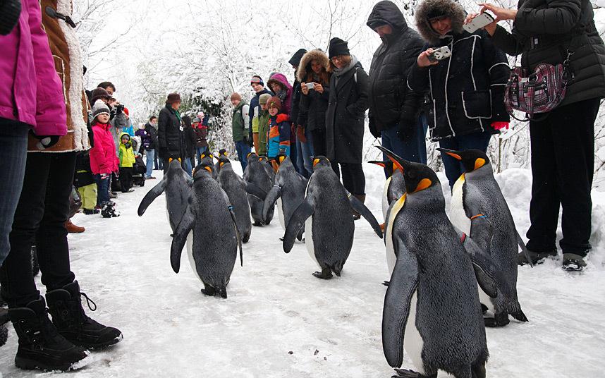 penguin-parad