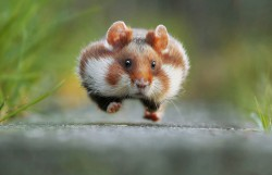 In late summer the European hamster gets ready for hibernation. He fills up his pouches with grains, roots, plants or insects and transports them into his food chamber (that's why he is running).