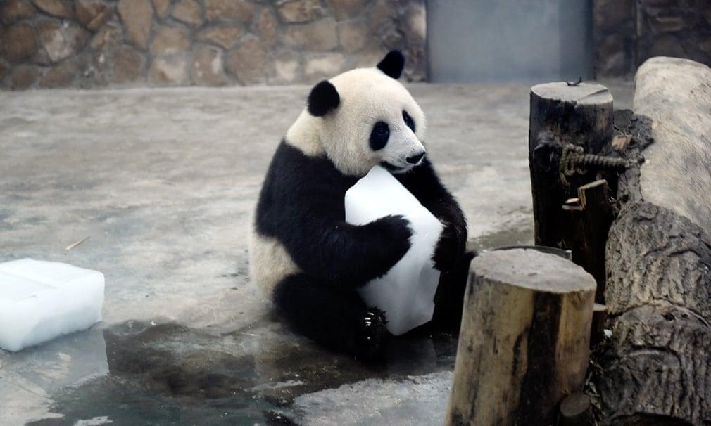 Panda Bear Break Traffic